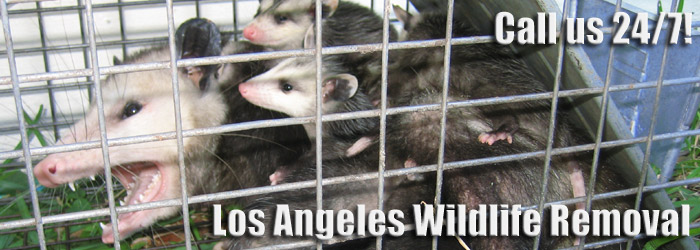 How to Get Rid of Opossums in the Yard Getting rid of opossums in the lawn  or open spaces is not an easy task. These animals are not picky when it  comes ... - How To Get Rid Of Opossums In Los Angeles